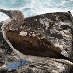 Blue-footed-booby1